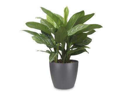 Aglaonema Stripes 70cm + pot à fleurs Elho anthracite