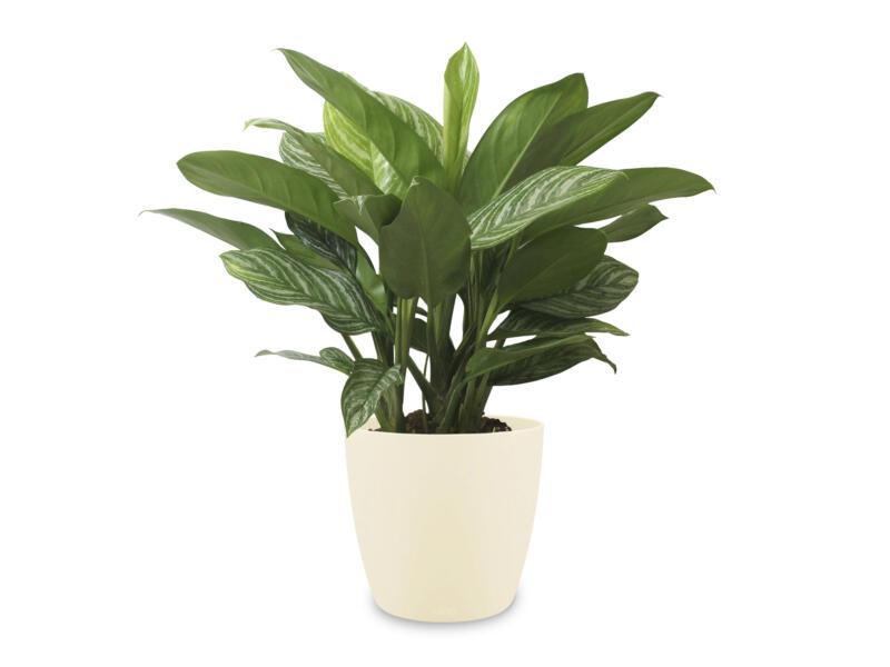Aglaonema Stripes 70cm + pot à fleurs Elho crème