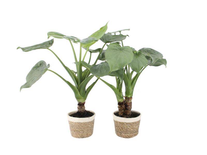 Alocasia Cucullata + pot à fleurs Noah Korb 50cm 2 pièces