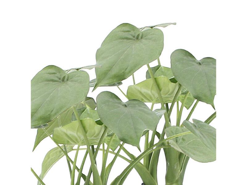 Alocasia Cucullata 50cm 2 pièces