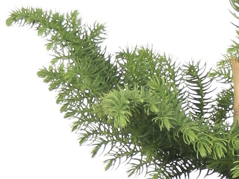 Araucaria Heterophylla 80cm