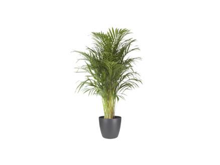 Areca Palm 120cm + pot à fleurs Elho anthracite