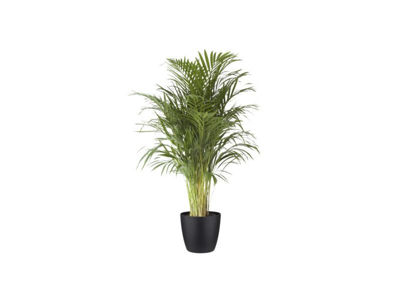 Areca Palm 120cm + pot à fleurs Elho noir