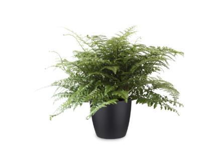 Asplenium Parvati 50cm + pot à fleurs Elho noir