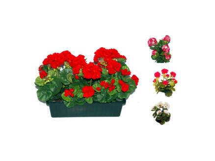 Bloembak geraniums 35cm 3 stuks
