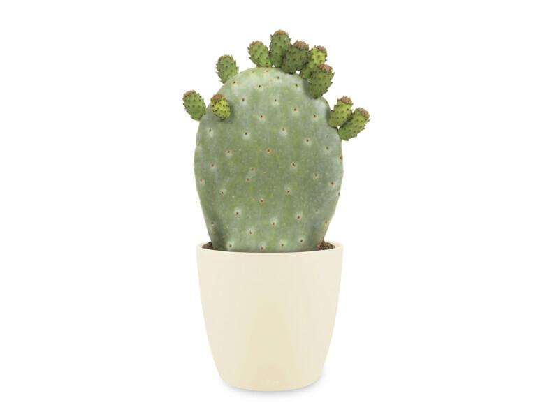 Cactus Opuntia Ficus-Indica 40cm + Elho bloempot crème