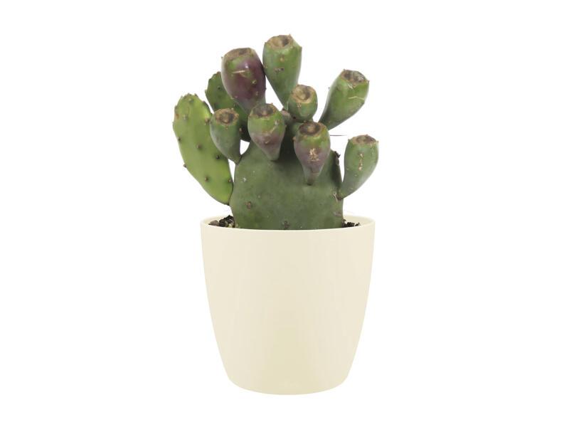 Cactus Opuntia Vulgaris 30cm + pot à fleurs Elho crème