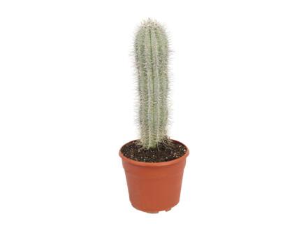Cactus Pachycereus Pringlei 70cm
