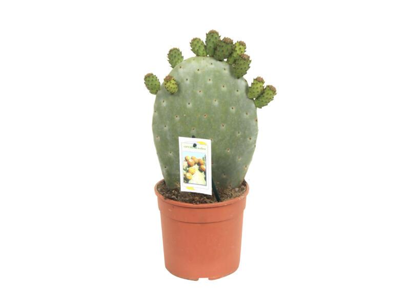 Opuntia Cactus Ficus-Indica 40cm