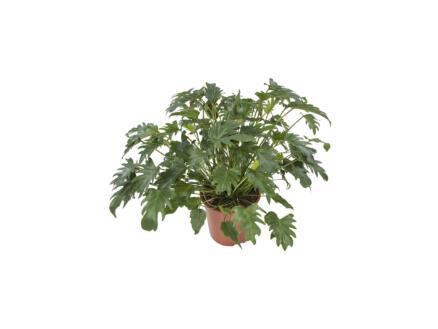 Philodendron Xanadu 60cm