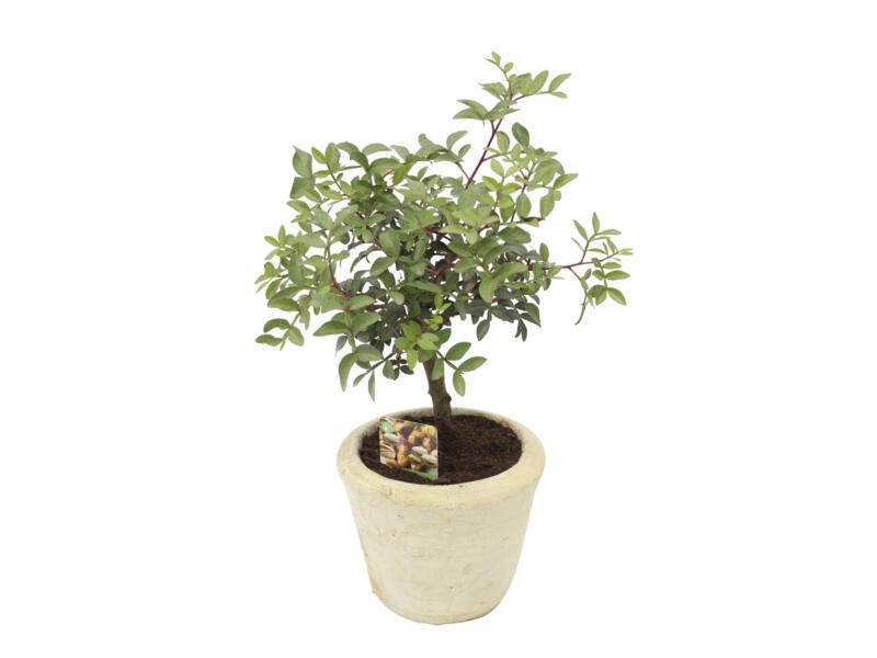 Pistacia Lentiscus 35cm + terracotta bloempot