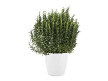 Rosmarinus XL 70cm + pot à fleurs Elho blanc