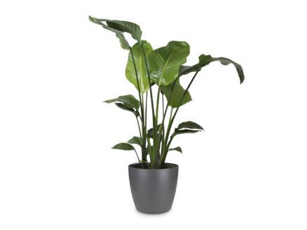 Strelitzia Nicolai 100cm + pot à fleurs Elho anthracite
