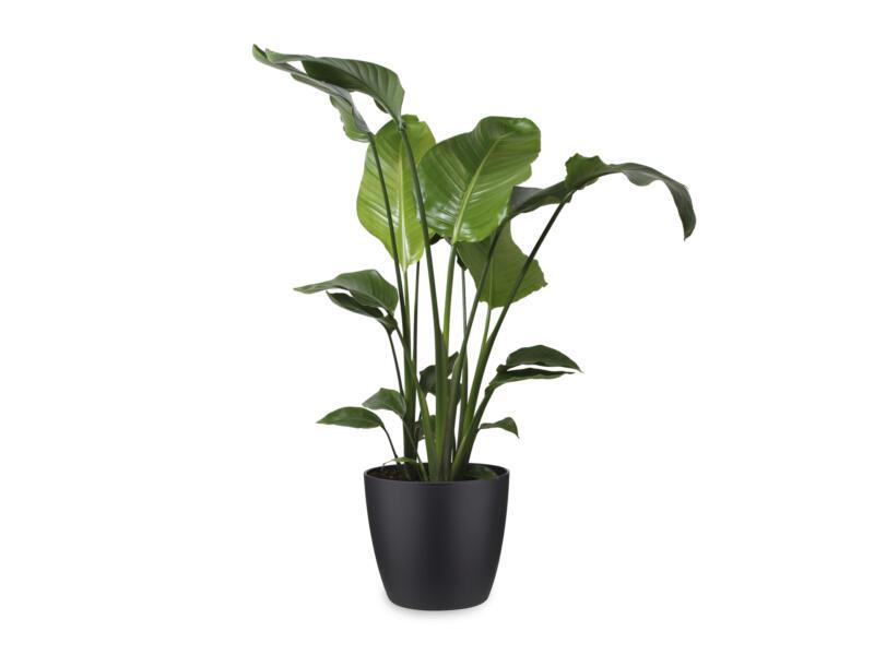 Strelitzia Nicolai 100cm + pot à fleurs Elho noir
