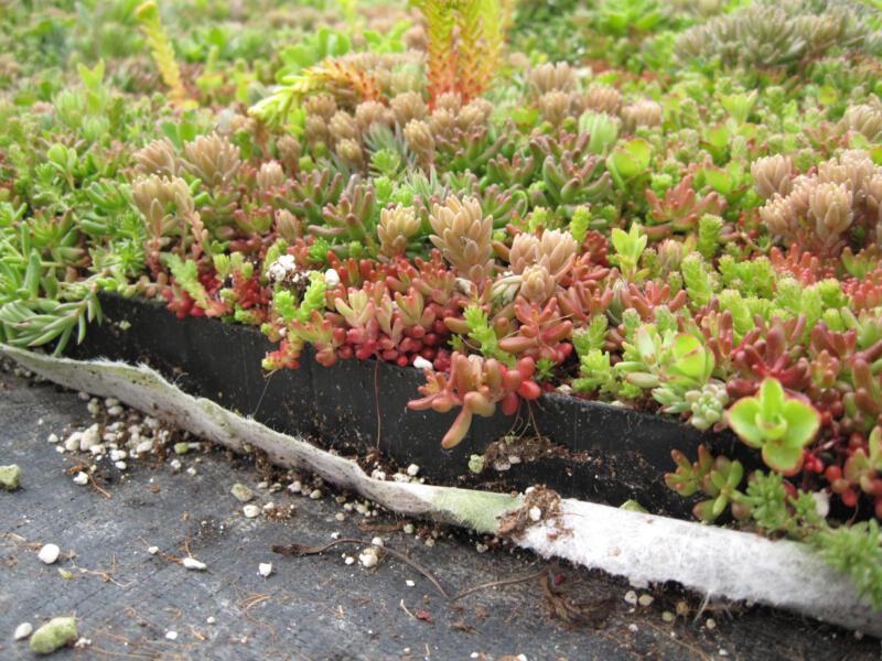 Toiture végétale instantanée 60x40 cm | Hubo