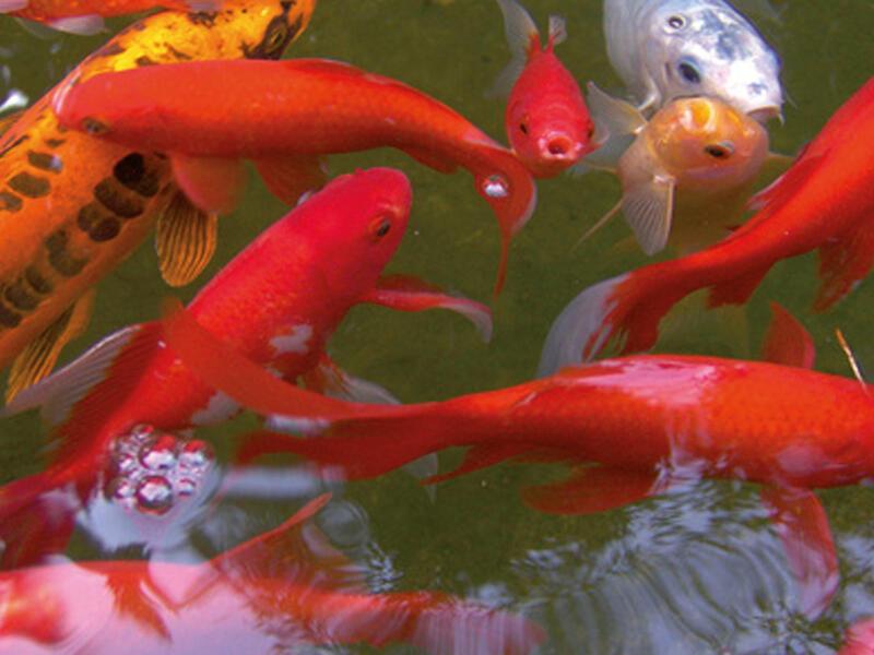 Victoria Quadro 5 bassin de jardin 225l