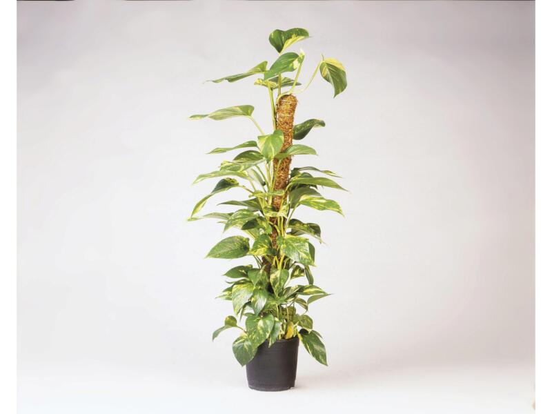 Nature kokosplantenstok 60cm 38mm